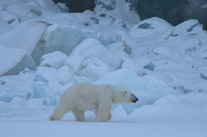 A polar bear walks among ice and snow.