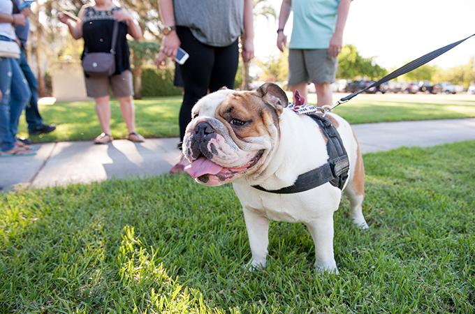 Addie, live bulldog mascot