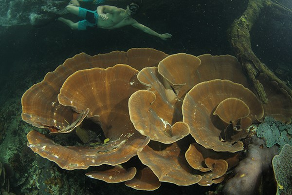 Giant lettuce coral grow in Wonder Lake. (Photo by Ron Leidich)