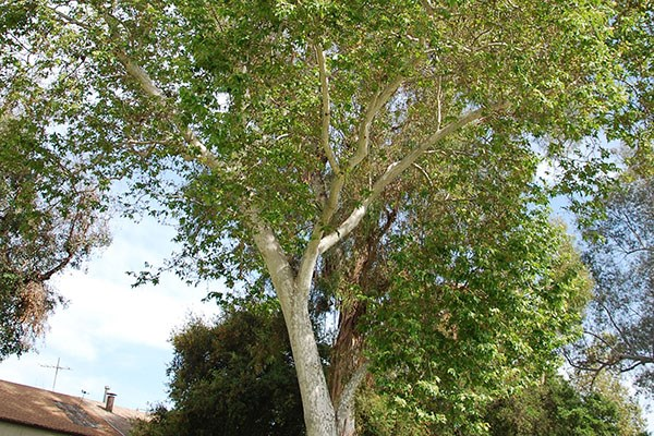 Larger California Sycamore